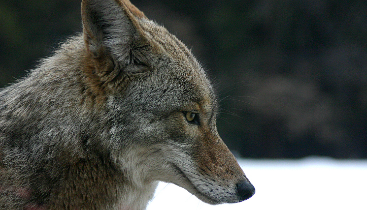stock photo of coyote