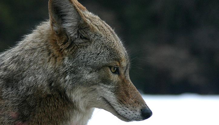 stock photo of coyote